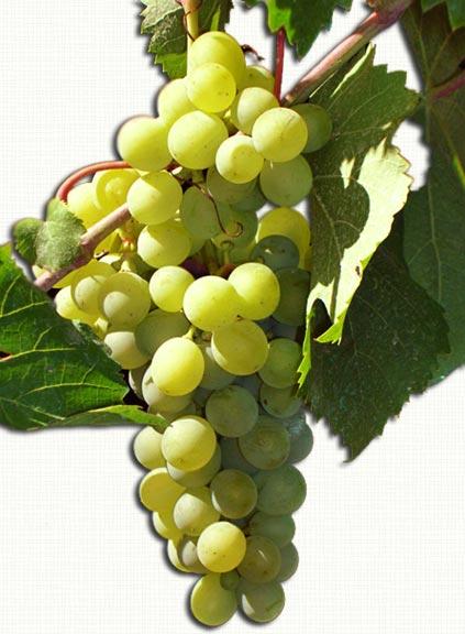Uva italia l 39 uva da tavola di canicatt hotel marconi - Uva da tavola italia ...